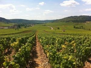 vignes beaune